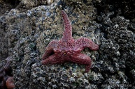 This starfish didn't want her picture taken; giving me the one finger salute.