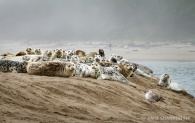 Sea lions basking on the beach. Lincoln City, Oregon.